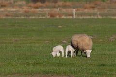 Enfantez les moutons avec deux agneaux dans un pré Photographie stock
