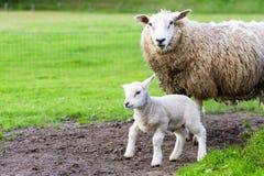 Enfantez les moutons et l'agneau nouveau-né dans le pré pendant le ressort Photos stock