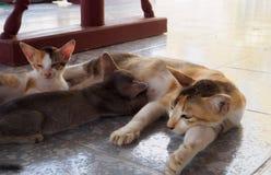 Enfants de alimentation de chat de mère lait maternel  photographie stock