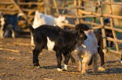 Enfants de chèvre se tenant sur la paille Images stock