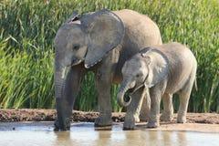 Enfants de mêmes parents d'éléphant africain Photos libres de droits