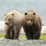 Enfants de mêmes parents d'ours Image libre de droits
