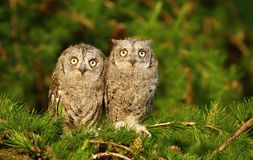 Enfants de mêmes parents de hibou de scops d'Otus Images stock