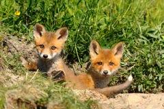 Enfants de mêmes parents mignons de renard rouge à l'entrée du repaire photos stock