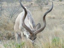 Enfeitar ocupado de Kudu Imagem de Stock Royalty Free