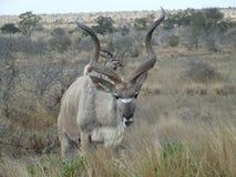 Enfeitar ocupado de Kudu Imagens de Stock