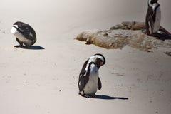 Enfeitar-se africano dos pinguins imagem de stock