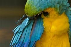Enfeitar-se do papagaio da arara Foto de Stock