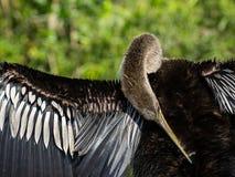 Enfeitar-se fêmea do pássaro do Anhinga Fotos de Stock