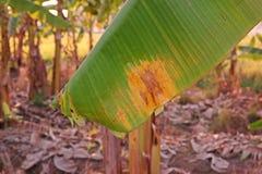 Enfermedad de hongos, enfermedad vegetal de la hoja del plátano Foto de archivo