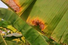 Enfermedad de hongos, enfermedad vegetal de la hoja del plátano Imagen de archivo libre de regalías