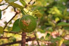 Enfermedad de la úlcera de la fruta en la familia de la fruta cítrica Imágenes de archivo libres de regalías