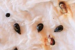 Enfermedad de la putrefacción de la semilla Imágenes de archivo libres de regalías