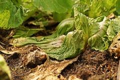 Enfermedad de la verdura frondosa de bacterias Imágenes de archivo libres de regalías