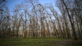 Enfermedad del árbol - muérdago Imágenes de archivo libres de regalías