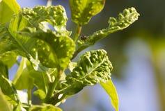 Enfermedad del psylla de la fruta cítrica en la hoja del árbol de limón Fotos de archivo libres de regalías
