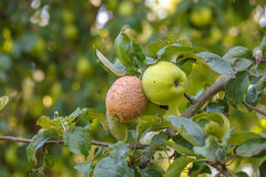 Enfermedades de manzanas, monilia Fotos de archivo