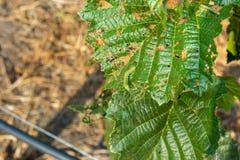 Enfermedades y parásitos de nueces y de hojas del primer de los arbustos de la avellana El concepto de protección química del jar imagenes de archivo