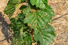 Enfermedades y parásitos de nueces y de hojas del primer de los arbustos de la avellana El concepto de protección química del jar imágenes de archivo libres de regalías