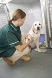 Enfermeira de Vetinary que verific animais doentes nas penas Fotografia de Stock Royalty Free