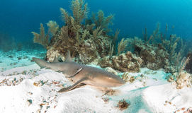 Enfermeira Shark Foto de Stock Royalty Free