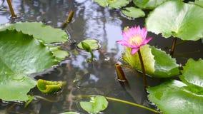 Enfoca adentro el vuelo de la abeja de la miel que recoge el polen adentro profundamente del lirio de agua púrpura floreciente ca almacen de metraje de vídeo
