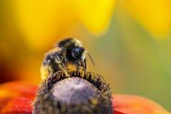 Enfocado manosee la abeja que recoge el polen de la flor Fotografía de archivo libre de regalías