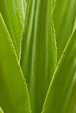 Enfocan adentro las hojas de Vera del áloe Foto de archivo libre de regalías