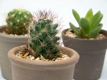 Enfocan adentro los cactus Foto de archivo