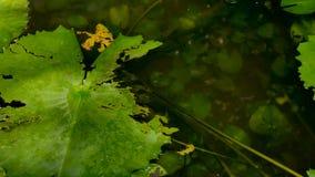 Enfoque adentro cerca encima de la hoja verde del loto en el pantano metrajes