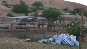 Enfoque adentro de un grupo de camellos que comen el heno en una granja del camello en Ras al Khaimah, UAE almacen de video