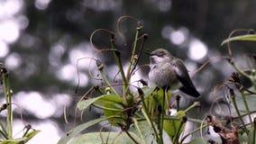 Enfoque adentro en el pequeño colibrí que se sienta en caída de la nieve ligera almacen de video