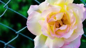 Enfoque adentro en una rosa amarilla blanca