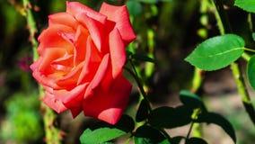 Enfoque adentro en una rosa roja almacen de video