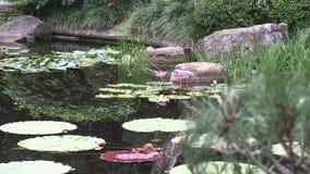 Enfoque adentro hacia waterlilies en la charca de un jardín japonés ajardinado en Australia metrajes