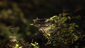 Enfoque adentro a las redes minúsculas de la araña en el arbusto de arándano en el bosque del cuento de hadas metrajes
