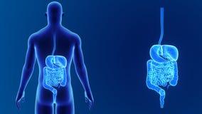 Enfoque del sistema digestivo con el cuerpo ilustración del vector