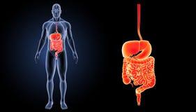 Enfoque del sistema digestivo con la opinión anterior de los órganos imágenes de archivo libres de regalías