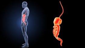 Enfoque del sistema digestivo con la opinión del lateral de la anatomía Imágenes de archivo libres de regalías