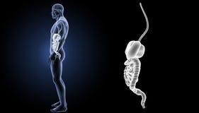 Enfoque del sistema digestivo con la opinión del lateral de los órganos imágenes de archivo libres de regalías