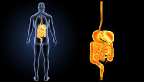 Enfoque del sistema digestivo con la opinión del trasero de los órganos imagen de archivo libre de regalías