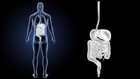 Enfoque del sistema digestivo con la opinión del trasero de los órganos fotografía de archivo libre de regalías