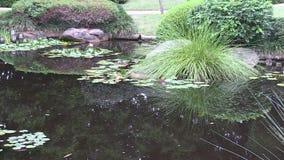 Enfoque hacia fuera de waterlilies en la charca de un jardín japonés ajardinado en Australia almacen de metraje de vídeo