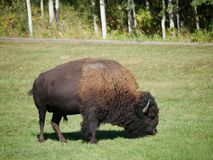 Enformat bison som fri-strövar omkring i parkera Royaltyfria Foton