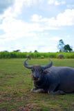 Enfríe hacia fuera el búfalo foto de archivo libre de regalías