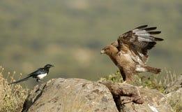 Enfrentar da águia e da pega do busardo fotografia de stock