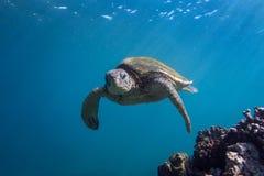 Enfrentar da tartaruga Fotos de Stock