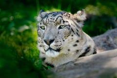 Enfrente o retrato do leopardo de neve com vegation verde, Kashmir, ?ndia Cena dos animais selvagens de ?sia Retrato do detalhe d fotos de stock royalty free