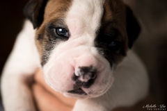 Eng/Am Bulldog Puppy. Olde American puppy, also known as an Eng/Am. Mamma is an American Bulldog and daddy is an Olde English Bulldog stock photography