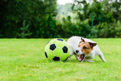 Engaged dog actively playing with football soccer ball. Jack Russell Terrier playing soccer at backyard Stock Photo